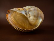 形状各异的海螺图片_10张