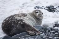 可愛的海豹圖片_13張