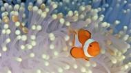 美美的小丑魚圖片_12張