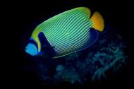 色彩鲜艳的热带海洋鱼图片_15张