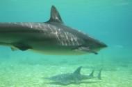 水中的鯊魚圖片_13張