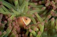 小丑魚和海葵圖片_10張