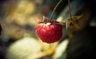 营养有益的树莓图片_28张