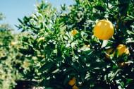 清新的柠檬图片_13张