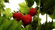 等待采摘的新鲜草莓图片_12张