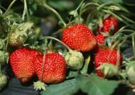 草莓果实图片_5张