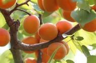 树上成熟的杏子图片_17张