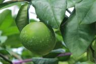 绿色未成熟的柚子图片_11张