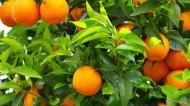 新鲜橘子图片_6张