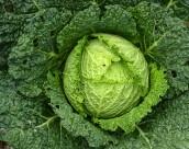绿色健康的圆白菜图片_22张