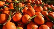 新鲜的橘子图片_14张