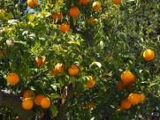 树枝上的橘子图片_14张