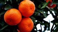 橘子图片_6张