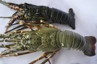 龙虾图片_16张
