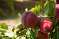 美味的桃子图片_14张