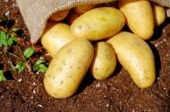 新鲜的土豆图片_13张
