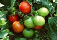收获西红柿图片_8张