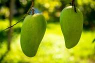 樹上的芒果圖片_7張