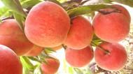 树上的桃子图片_7张