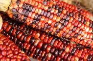 顏色各異的玉米圖片_9張