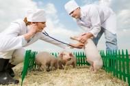 抱着猪的兽医图片_11张