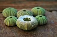 绿色的海胆壳图片_8张