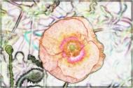 素描花卉圖片_9張