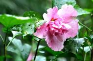 雨后木芙蓉图片_5张