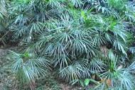 矮棕竹植物图片_4张
