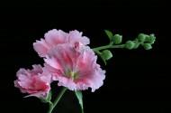 色彩濃淡相宜的蜀葵花卉圖片_6張