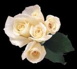 白玫瑰透明背景PNG图片_15张