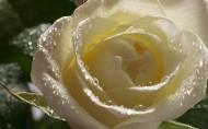 淡雅的白玫瑰图片_20张