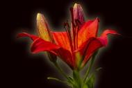 美丽的百合花图片_12张
