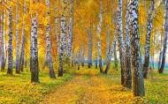 秋季金黄的白桦林图片_12张