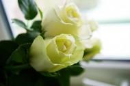 纯洁的白玫瑰图片_15张