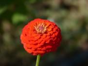 观赏植物之百日菊图片_15张