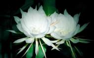白色的曇花圖片_8張