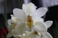 白色的蝴蝶蘭圖片_15張
