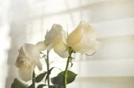 白色的玫瑰图片_9张
