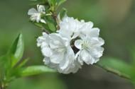白色桃花图片_14张