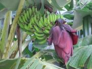 香蕉树图片_17张