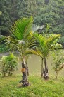 棍棒椰子植物图片_1张