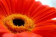 红色非洲菊花卉图片_7张