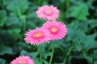非洲菊花卉圖片_9張