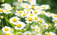 各种颜色的雏菊图片_17张