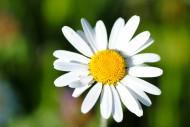 白色雏菊花卉图片_22张