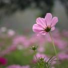 粉色波斯菊圖片_10張