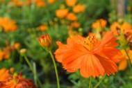 橙黃色波斯菊圖片_10張