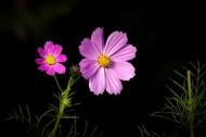 唯美粉色和白色波斯菊圖片_12張