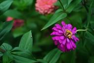 紫色波斯菊圖片_8張